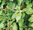 19 Health Benefits of Scent Leaf (No.9 For Smoke Man)