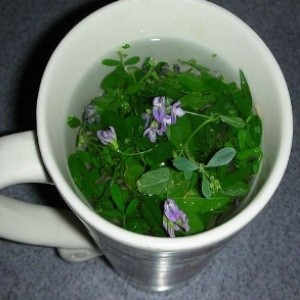 13 Top Health Benefits of Alfalfa Tea #1 Potent Herbal