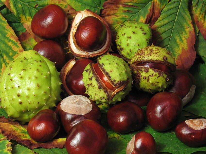 16 Health Benefits of Horse Chestnut (No.2 is Excellent!)