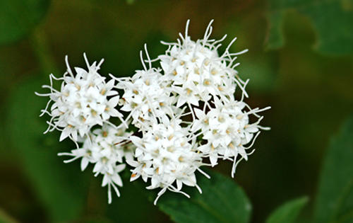 17 Benefits of Snakeroot for Health (#1 Awesome)