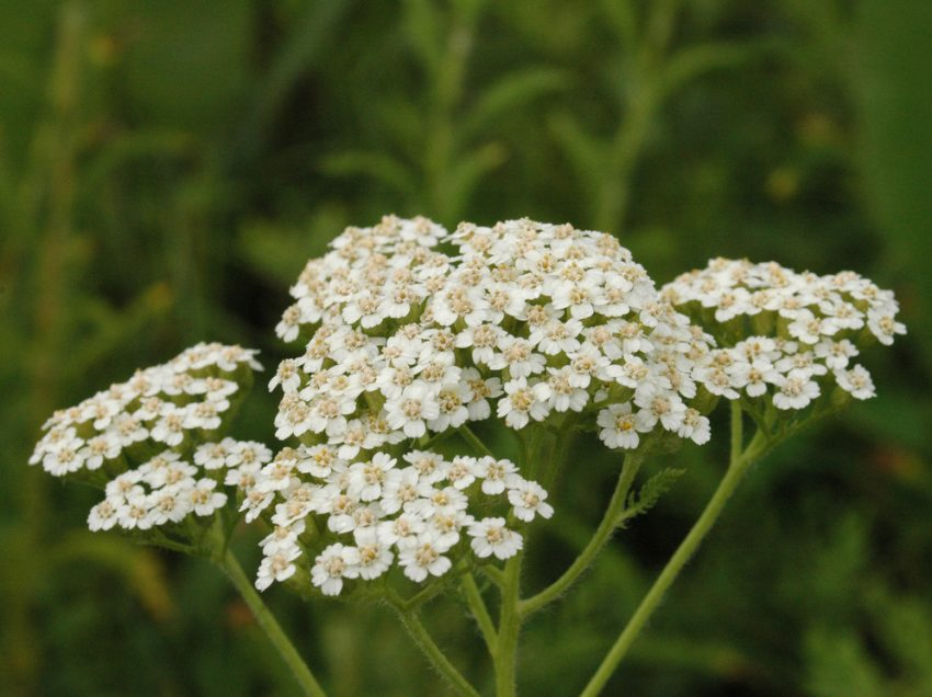 24 Top Health Benefits of Yarrow (No.2 Works)
