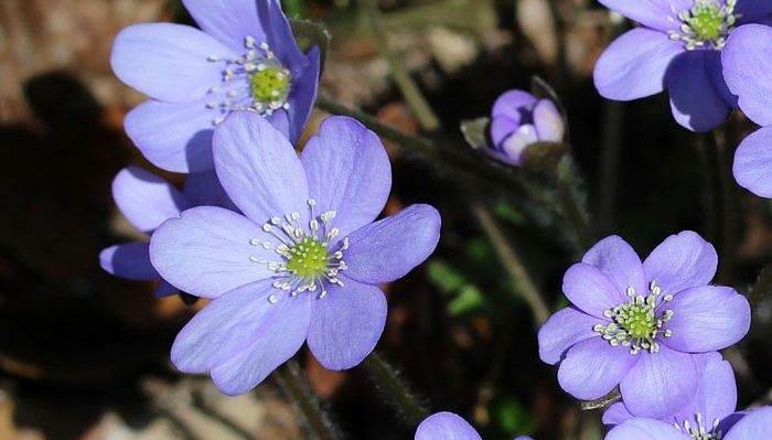 11 Benefits of Hepatica for Health (#1 Top Healing)