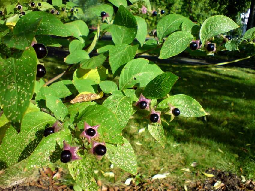 13 Benefits of Belladonna for Health #1 Homeopathic Medicine