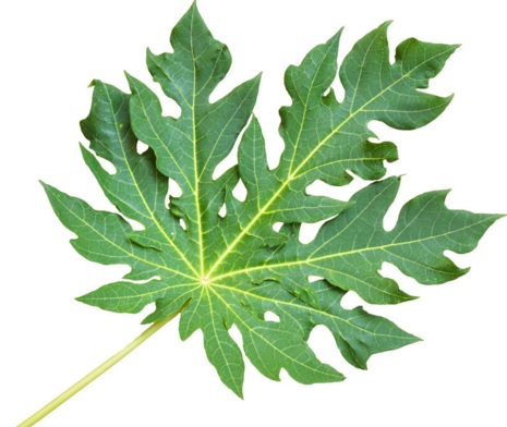 20 Health Benefits of Paw Paw Leaves (No.4 Super-Real)