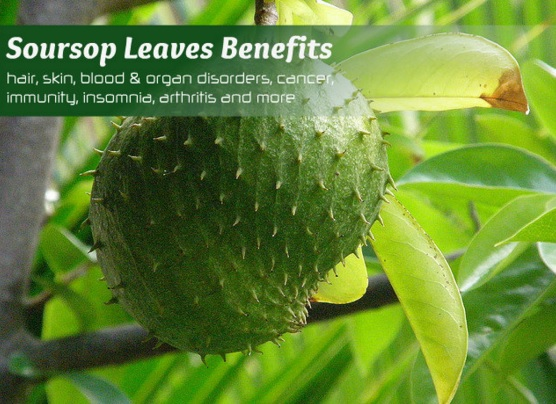 31 Health Benefits of Soursop Leaves (#Top For Cancer)