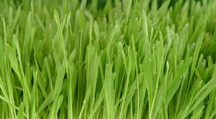 11 Health Benefits of Young Barley Leaves (No.3 Amazing)