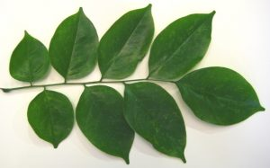 Narra Trees, Angsana Leaves