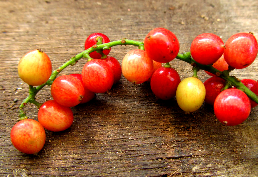 17 Health Benefits of Bignay Fruit – Beauty – Weight Loss – Sexual Treatments