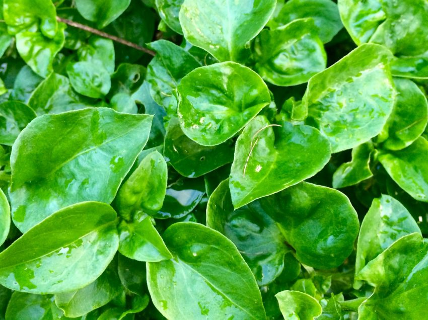17 Health Benefits of Brazilian Spinach – Pregnancy – Beauty