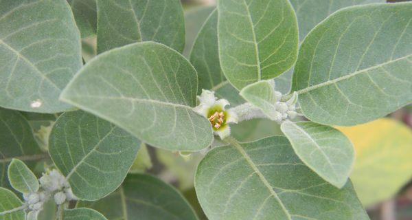 15 Benefits of Ashwagandha Leaves For Weight Loss