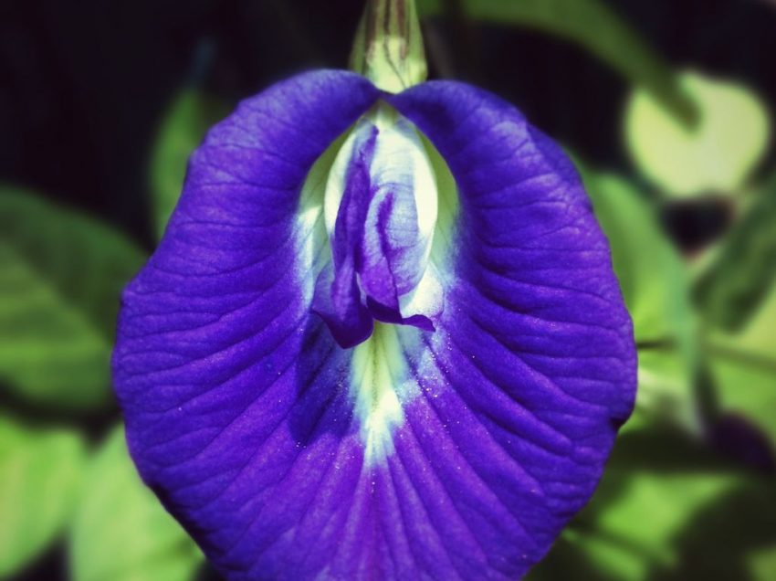 12 Health Benefits of Clitoria Ternatea (#1 Home Remedy from Asia)