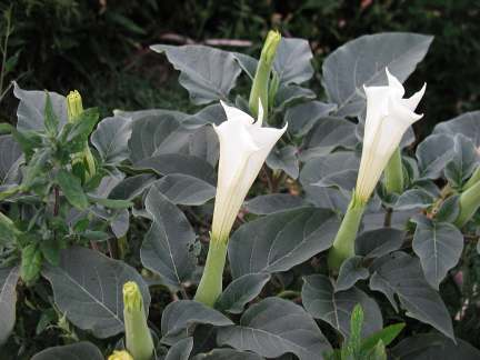 13 Benefits of Jimson Weed (#1 Asthma Treatment)