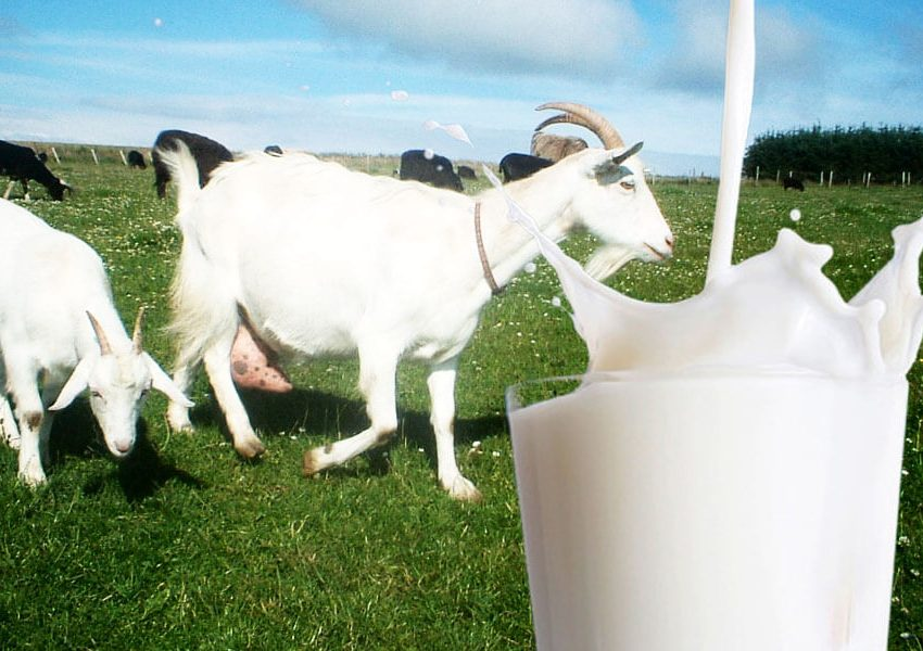 20 Health Benefits of Goats Milk #1 Amazing Sources