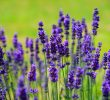 25 Benefits of Lavender for Skin Health #1 Top Natural Treatments