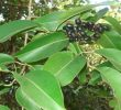 20 Health Benefits of Jamun Leaves (Proven Traditional Cures)