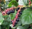 6 Superb Health Benefits of Salal – Nutrients Value